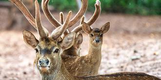 这种鹿全球仅剩180只