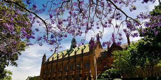 蓝花楹盛开在悉尼大学