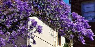悉尼夢幻藍花楹大道