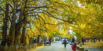 騰沖銀杏村金黃色盛景