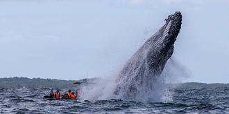 我拍到了背飞出水的座头鲸