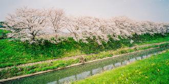那些年拍過的櫻花