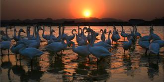 亞洲最大的天鵝聚居地