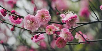 梅花吐蕊迎春綻放