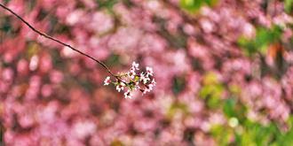 泉州开元寺的樱花开了