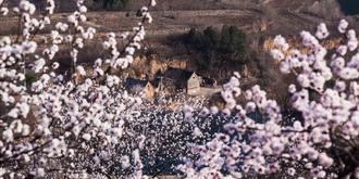 杏花盛开的时节