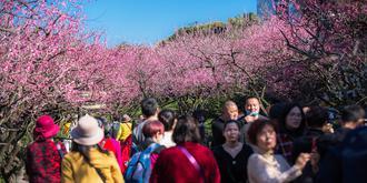 梅花绽放游客挤爆景区
