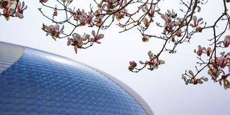 京城第一波玉蘭花開了