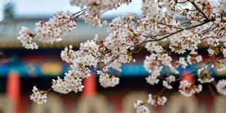 樱花绽放美如画