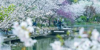 上海赏樱好去处