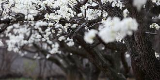 梨花山莊好春光