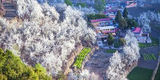 绝美的梨花盛景