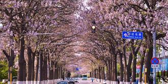 京城最美泡桐大道