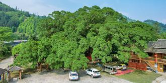 千年古樹獨木成林