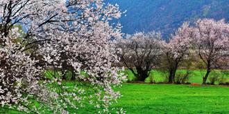雪山脚下的桃花之乡
