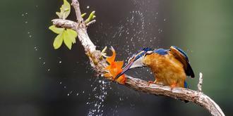 抓拍翠鸟猎食