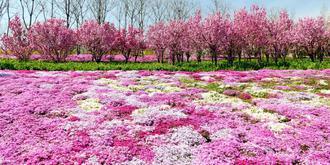 芝樱花开如梦如幻