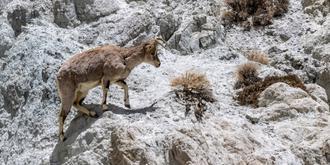 西藏偶遇岩羊