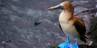实拍传说中的蓝脚鲣鸟