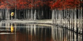 池杉为何能在水中屹立不倒