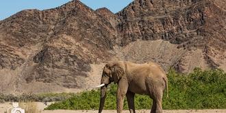 纳米比亚传奇沙漠象
