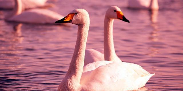 天鹅,滴血的夕阳唯美的爱情