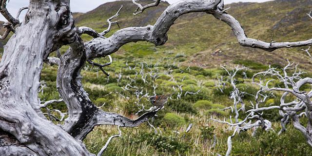 被山火烧毁的枯木