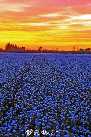 东天山脚下壮观的棉花田