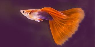 美妙迷人的孔雀鱼