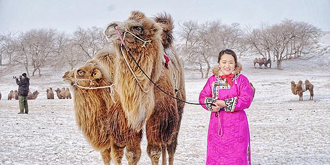 有趣!内蒙古骆驼选美