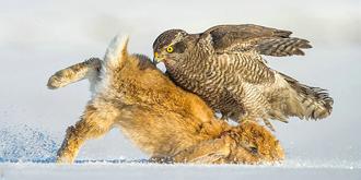 苍鹰捕食猛准狠快