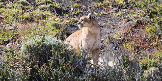 邂逅罕见的美洲狮