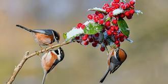 红头山雀迎新春