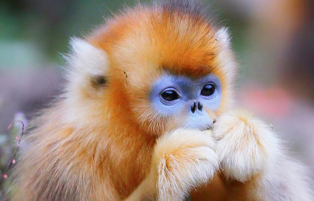 能近距离接触金丝猴的秦岭秘境
