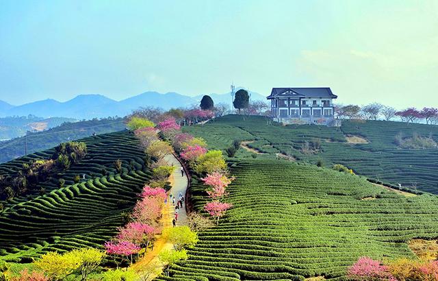 """艳迷""""大陆阿里山""""的中国最美樱花圣地"""