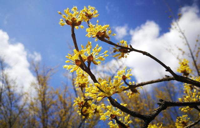 秦嶺腹地賞茱萸,既為春色還能食用