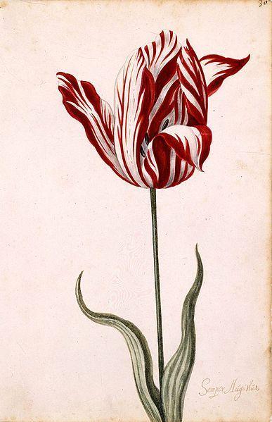 17世纪时描绘郁金香的水彩画