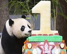 中美合璧过生日 大熊猫贝贝1岁啦