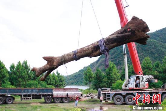 八月江西挖出17米长阴沉木 埋藏河底千年