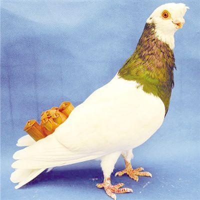 戴着哨的鸽子。