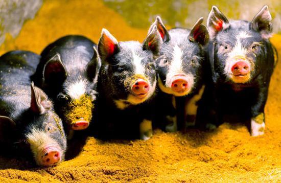 日本一教授拍摄小猪照片 免费供人们制作猪年贺年片使用(图片来源:朝日新闻网站)