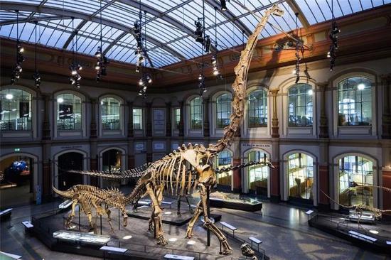 现存于柏林自然博物馆中的腕龙化石?图片:Wikipedia