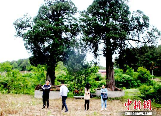 石板桥东面,生长着两棵树龄400年以上古柏树 宋俊初 摄