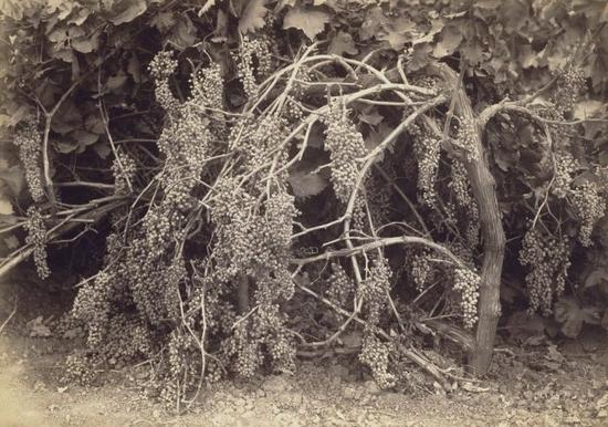 Carleton E。 Watkins, Thompson's Seedless Grapes,1880 J。 Paul Getty Museum