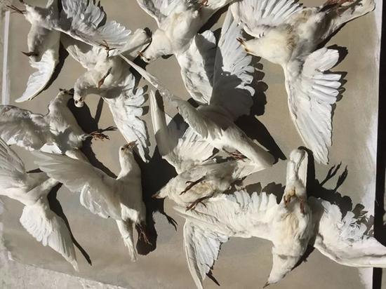 张大力在珠宝屯工作室的鸽子标本 2017