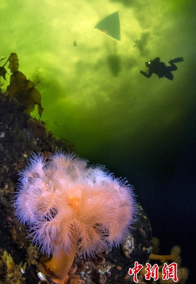 潜水员探索冰下海底世界 色彩绚丽宛如科幻世界