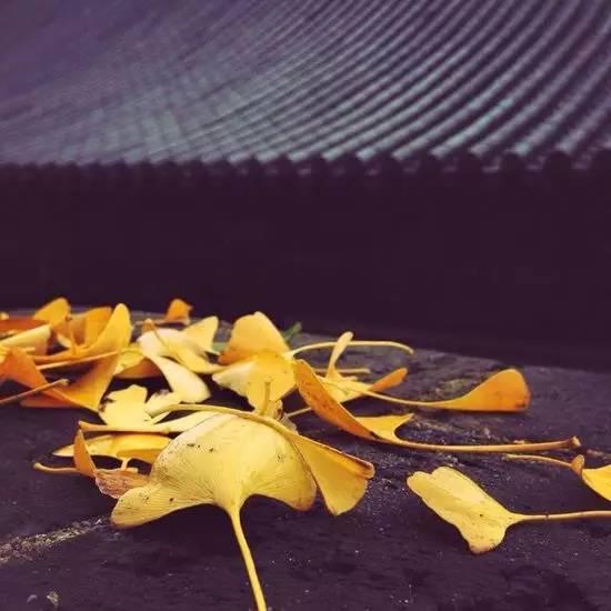 李世民栽了棵银杏树 美了1400年