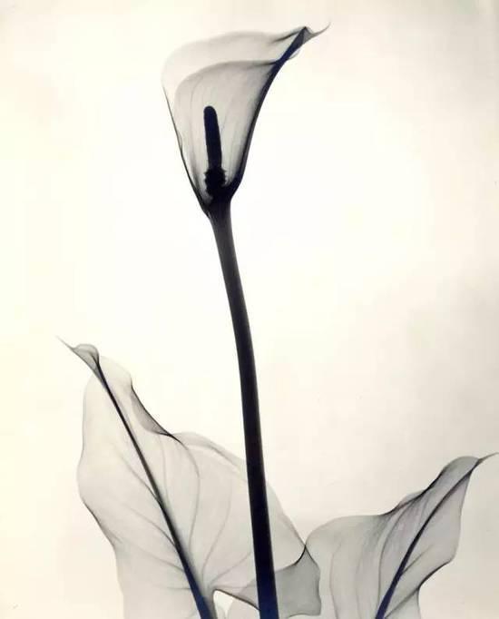 花朵的复古X光片 看起来像水墨画