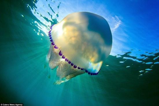 """美到窒息!摄影师潜入3米海水中拍摄水母""""舞蹈"""""""