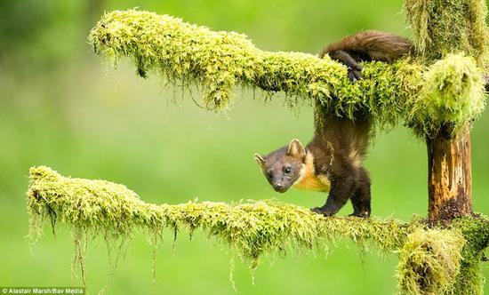 英国哺乳动物摄影大赛:可爱松貂夺冠